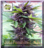 Cream of the Crop Auto Narco Purps Fem 10 Seeds